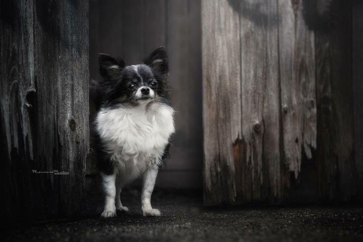 chihuahua #small #Dark #dog #photography #farm #dogphotography