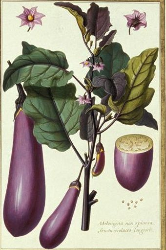 Eggplant - Solanum melongena- Purple Japanese Eggplant - circa 18th century: