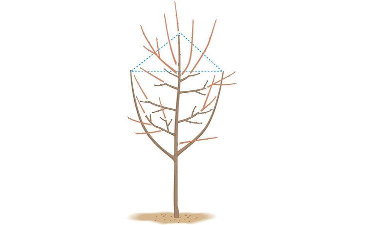 In den Wintermonaten steht der Schnitt von Kernobst wie Apfel-, Birnen- und Quittenbäume auf dem Programm. Mit diesen 10 Tipps schneiden Sie Ihre Obstbäume richtig.