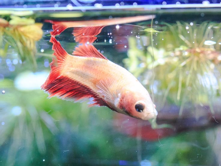 Betta Wonderland! As pets owners ..we should strive to provide our pets with the best habitats we can! This is a female betta in her 20 gallon sorority tank. You can see more at: http://www.youtube.com/c/creativepetkeeping #betta #fish #bettasplendens #bettasofinstagram #aquarium #bettacommunity #fishtank #siamesefightingfish #bettas #bettatank #fightingfish #bettasofig #fishcommunity #bettalove #femalebetta #bettafishy #bettaobsessed #bettalover #nature #water #colors #bettasorority #fishy…