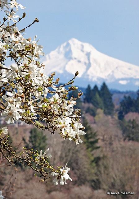 magnolia portland or