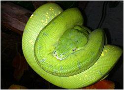 Green Tree 'Chondro' Python (Morelia Viridis) Care Sheet