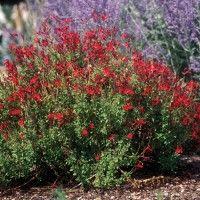 Furman's Red Texas Sage   Salvia greggii Furman's Red   High Country Gardens
