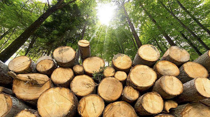Holzstämme-Der natürliche Baustoff Holz hat viele Vorteile: Als Parkett etwa strahlt er Natürlichkeit, Wärme und einen Hauch von Luxus aus. Sein größte Vorteil jedoch: Dieser natürliche Baustoff wird uns nie ausgehen. Förster achten darauf, dass dem Wald höchstens so viel Holz entnommen wird, wie dauerhaft nachwächst. Nach diesem Prinzip der Nachhaltigkeit arbeitet die deutsche Forstwirtschaft schon seit rund 250 Jahren. Mehr noch: Es ist die Forstwirtschaft, aus der der Gedanke der…