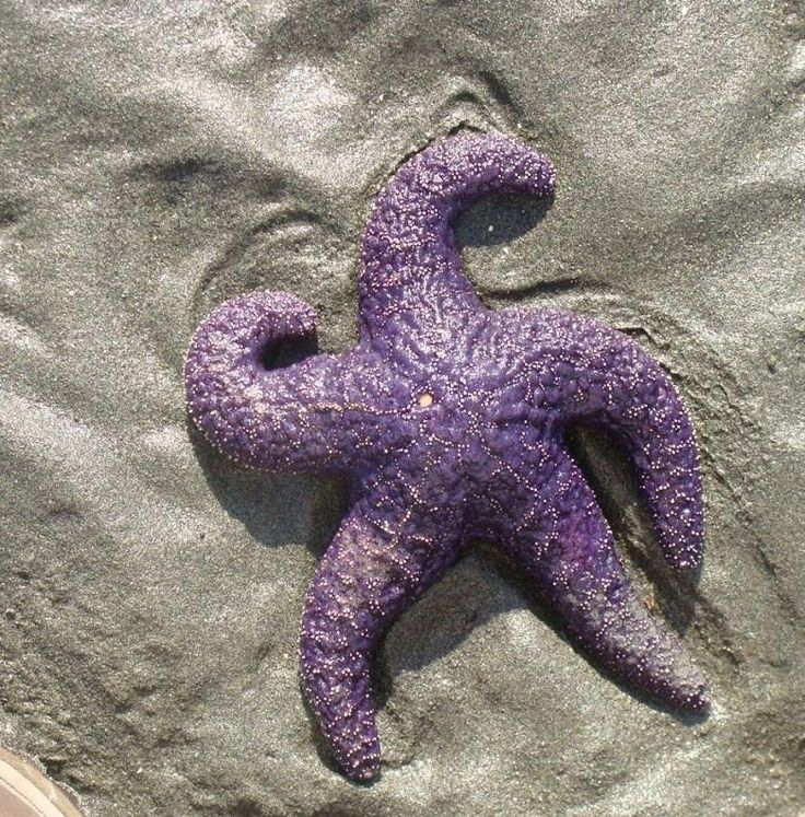 Beautiful Starfish that can be found in tidal pools around Tofino on Vancouver Island