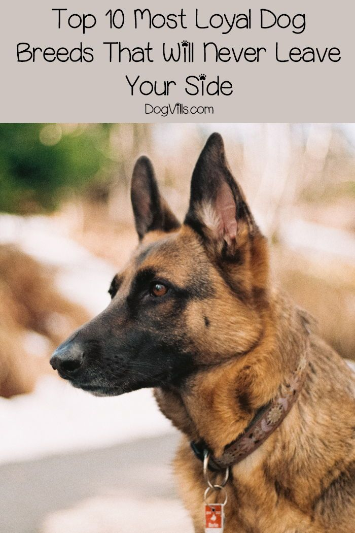 Top 10 Most Loyal Dog Breeds That Will Never Leave Your Side Dogvills Loyal Dog Breeds Dog Breeds Protective Dog Breeds