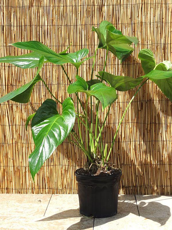 Xl Anthurium Big Splash Spectible X Watermaliense Plant In 6 Pot Plants Anthurium Anthurium Plant