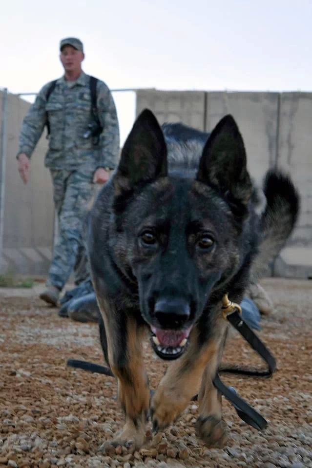 War Dog...look at the intense expression  on his face. Wow. Great photo.