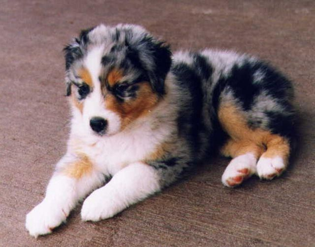 I will have an Australian Shepherd pup one day!