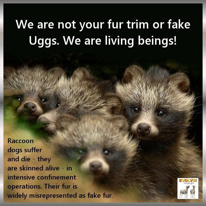 Raccoon dogs are native to Asia. These social animals live in pairs or small groups, males are helpful fathers, bringing food to their pregnant mate & help raise young. Raccoon dogs suffer & die for their fur in intensive confinement operations in China & Finland. Their fur is widely misrepresented as fake fur or as a different species. Raccoon dogs are skinned alive & sold as faux fur on jackets. Please don't buy these items!