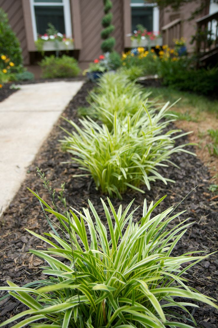 Variegated liriope monkey grass flowers pinterest for Using grasses in garden design