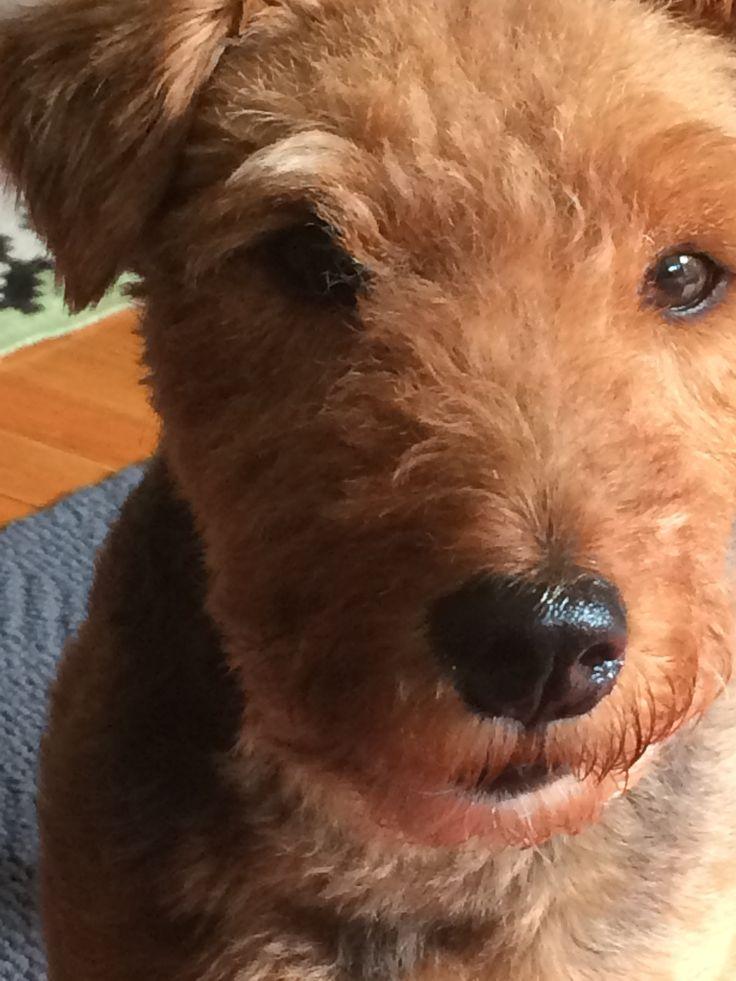 41 besten Welsh Love Bilder auf Pinterest | Welsh terrier ...