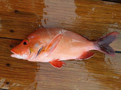 Red snapper fish wholesale is a high quality fish that can be consumed by many people who love to eat seafood full of healthy nutrition. Red snapper is one of the most popular warm water fish with delicate white meat and firm flesh which respond well when cooked in so many ways.