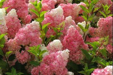 Hortensia 'Vanille Fraise'    L'Hydrangea paniculata 'Vanille Fraise' (hortensia paniculé 'Vanille Fraise') convient excellemment à l'utilisation en haie informelle ou à la plantation en grands groupes.