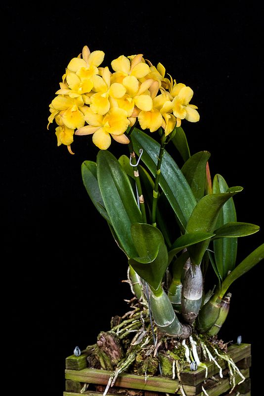 cattleytonia orchid | am from the american orchid center and honolulu orchid society
