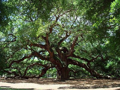 The Angel Oak Tree  (gate closes at 5pm, thrift stores nearby)
