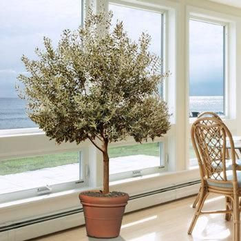 Arbequina Olive Tree •  Unique olive tree  •  Easy to grow patio tree  •  Lifetime of fresh olives