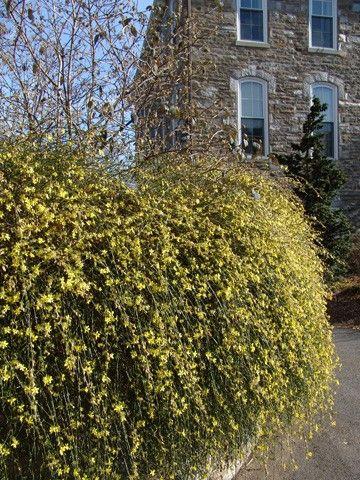 -Jasminum-nudiflorum -winter jasmine -Zone 6 -3'-4' x 4'-7'