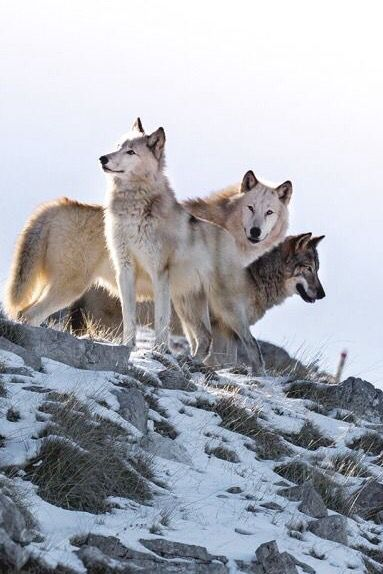 Wolves in Sila National Park, Calabria, Italy by Cinquephoto