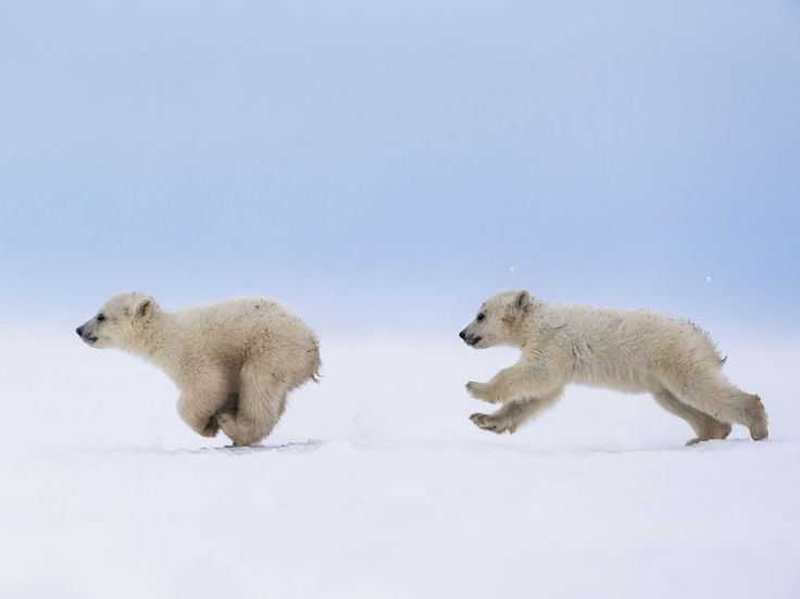 Twin polar bear cubs frolic on the snow near Churchill, Manitoba, a town on the west shore of Hudson Bay known for the bears that gather there in fall. The animals are tailor-made for the inhospitable environment, with a thick coat of insulated fur covering a warming layer of fat. Photograph by Meril Darees, July 2, 2014