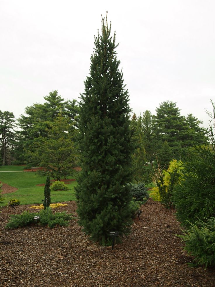 Columnar norway spruce garden trees pinterest norway for Small sized evergreen trees