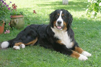 Bernese Mountain Dog: big dog with great strength but known to be very gentle and good with kids. Bred for drafting.