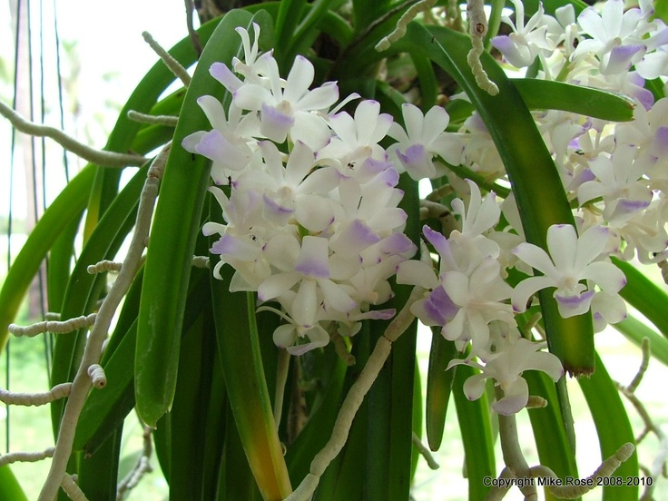 White & Blue Thai Orchid