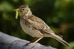Image result for english birds on the red list conservation