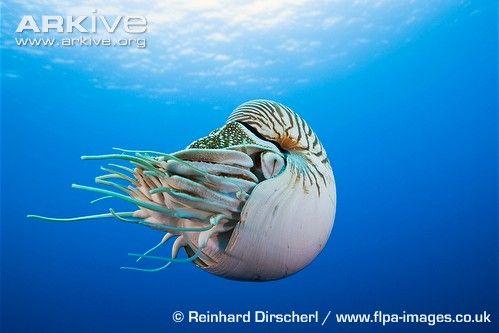Photo of nautilus swimming