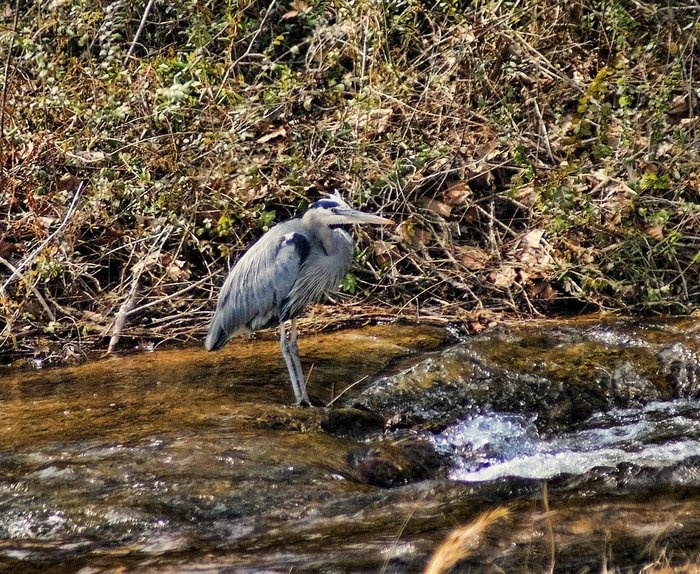 Fishing hole by rick friedle great blue heron first seen for Lake dardanelle fishing