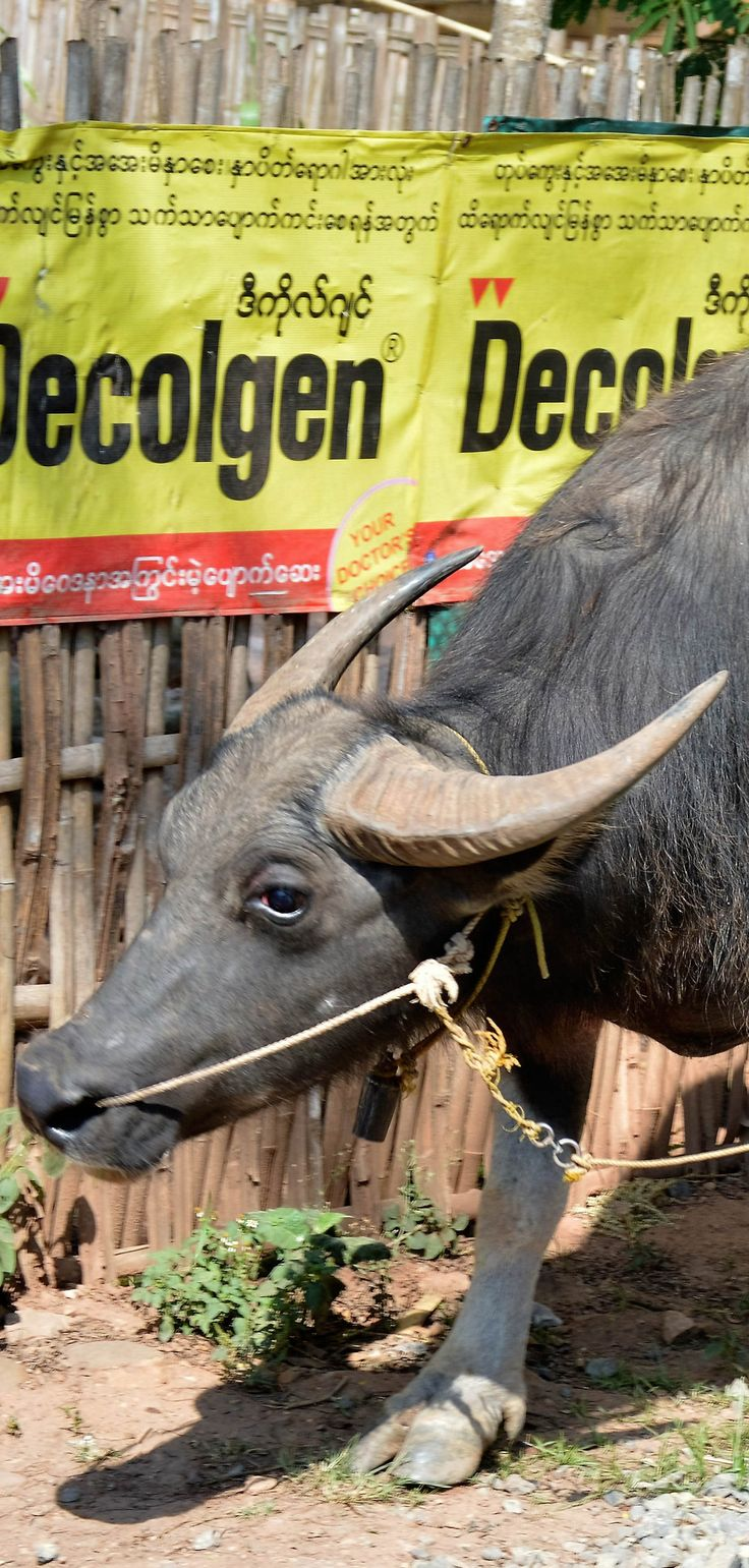 Power signs for batterys and the stand by power in Myanmar the buffalo.   #myanmar #burma #buffalo