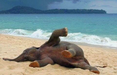 Этот слоненок впервые оказался на пляже. То, что он там делал, разошлось по всему миру! Слоны - удивительные животные! Они примечательны не только благодаря внушительным размерам, но и общепризнанным интеллектуальным способностям. Они опознают себя в зеркальном отражении, обладают музыкальным слухом и отличной памятью. Слоны - одни из немногих видов животных, применяющих инструменты. В частности, они используют ветки деревьев, чтобы отгонять надоедливых мух и других насекомых.