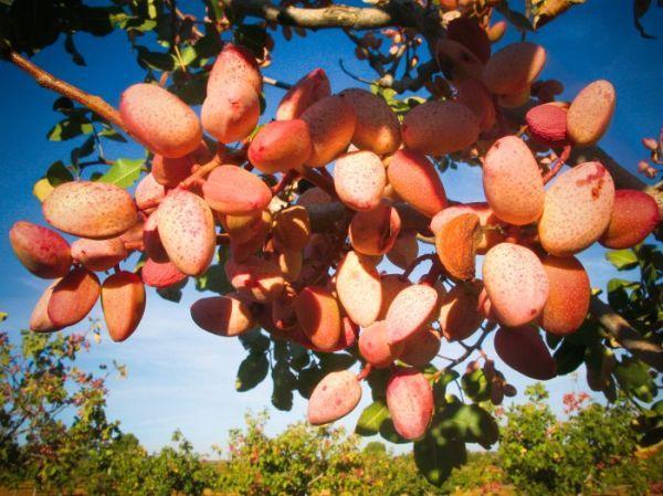 Pistachos Ecológicos Ibéricos. http://www.generacionnatura.org/directorio/productos-ecologicos-artesanos/110-pistachos-ecologicos-ibericos.html