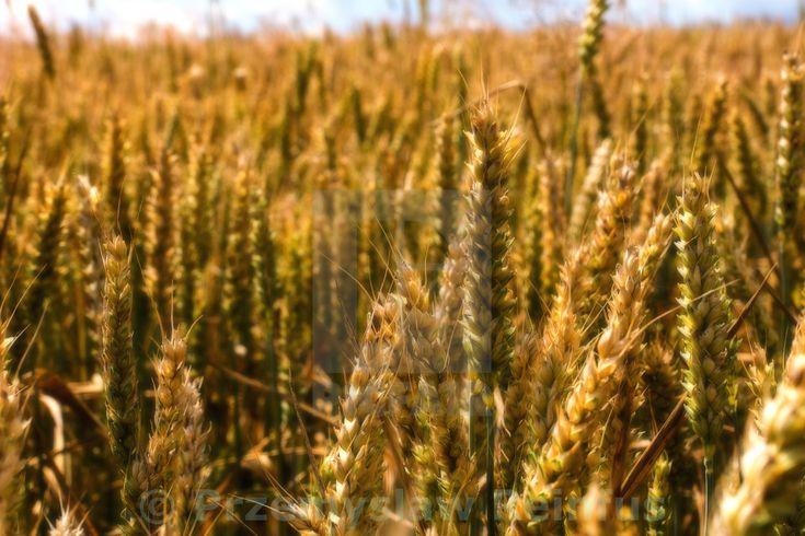 """""""Wheat field in Bolechowice (Poland)"""" by Przemyslaw Reinfus - £10"""