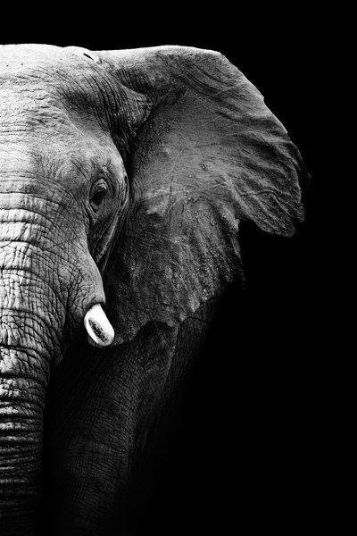 #elefant #elefantenbild #schwarzweiss #tierfotos #natur #elephant #blackandwhite #animals #nature