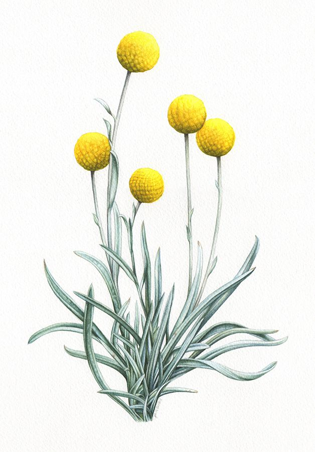 Billy Buttons Heidi Willis Watercolor Realism Botanical Art Watercolorflowers Watercolor Realism Bo Botanical Watercolor Botanical Art Botanical Drawings