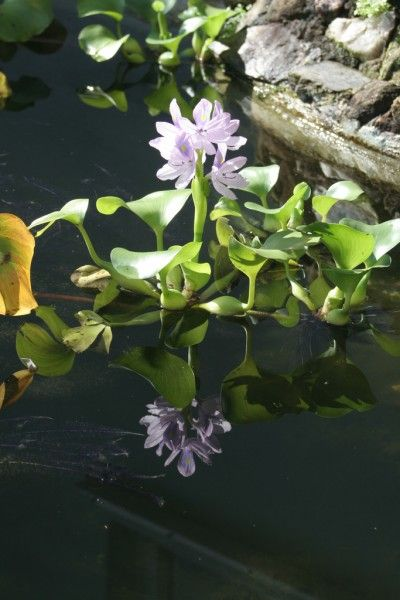 Eight Most Popular Pond Plants - While some are chosen for their beauty, other pond plants are necessary for a pond's health. This article includes a list of eight of the most popular pond plants and information as to why people love them.