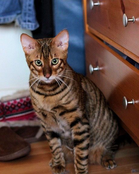 Queenanne Cats - Upcoming planned breedings for Bengals and Toyger Cat in Bromsgrove, West Midlands https://represent.com/kittenshirt