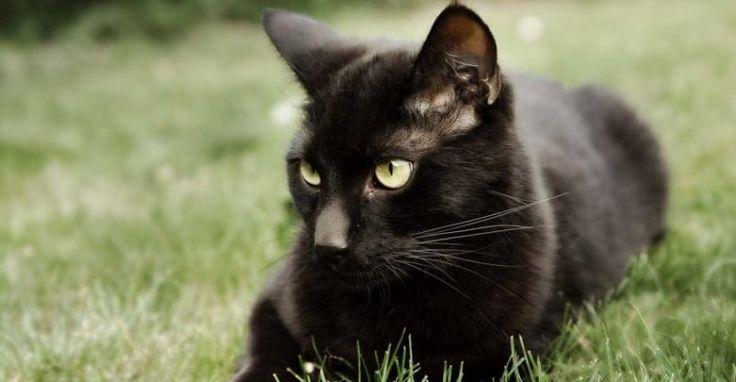 تفسير حلم القط الاسود يهاجمني في المنام للمتزوجة والعزباء Black Cat White Cat Breeds Cats