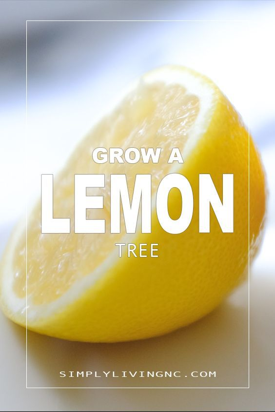 How To Grow A Meyer Lemon Tree From A Seed Indoors Meyer Lemon