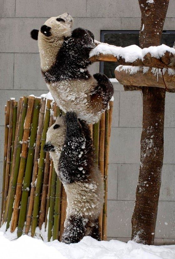 Imagenes osos panda: Imagen osos panda jugando en la nieve  [7-11-15]