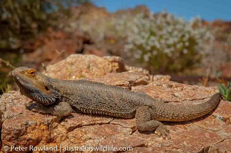 This Central #Bearded #Dragon was found soaking up the #heat in #Western #NSW #Australia #aus_wildlife