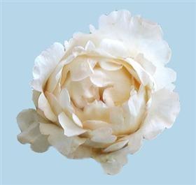 Cream Garden Rose 93 best flowers garden roses images on pinterest | garden roses