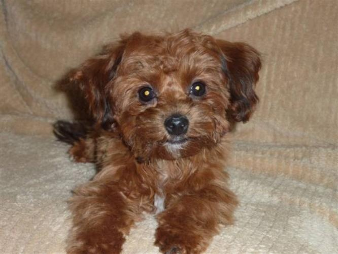 Google Image Result for http://images.canadianlisted.com/nlarge/bichon-shih-tzu-yorkie-puppies_5072368.jpg