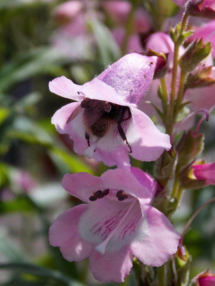 Bumble bee bum