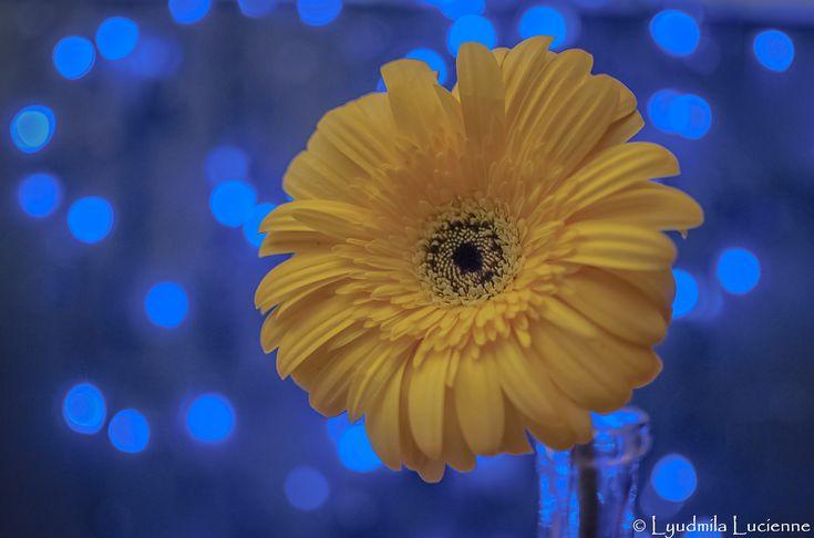 Microphone. Мікрофон.  #originalcontent  #Microphone #bright #yellow #gerbera #flower #bokeh #blue #light #shadow #petals #nikon