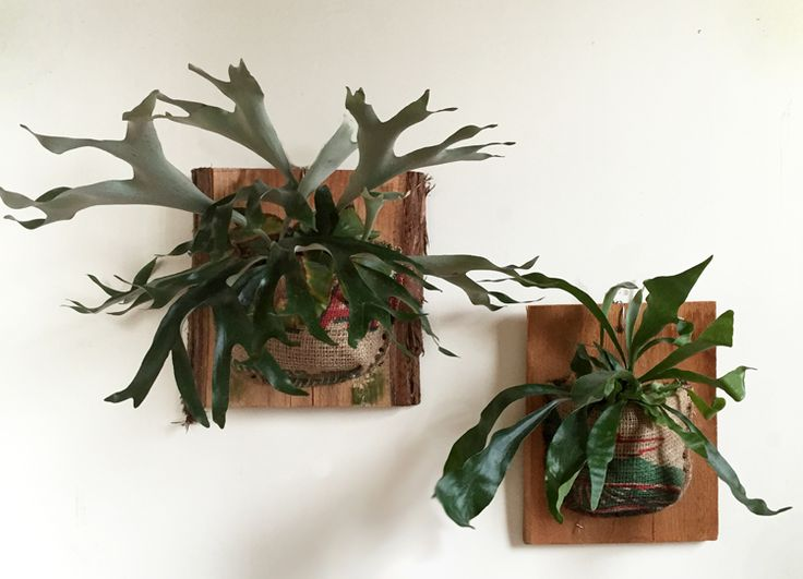 This week's care blog post features everything you need to know to keep Staghorn Ferns healthy!