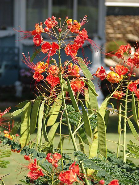 Red bird of paradise caesalpinia pulcherrima care for Garden plant information