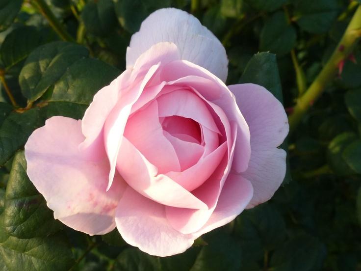 Роза сорт королева швеции отзывы фото кокорин