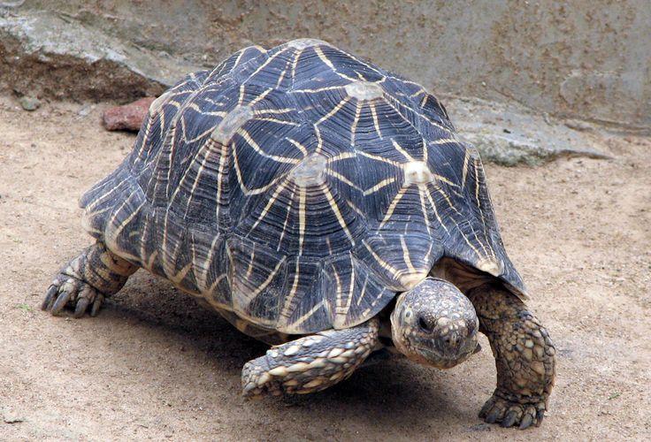Indian star tortoise   പ്രമാണം:IndianStarTortoise.jpg